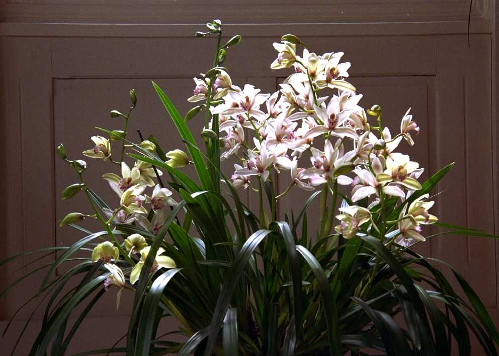 comment arroser cymbidium