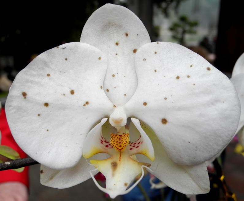 orchidee maladie