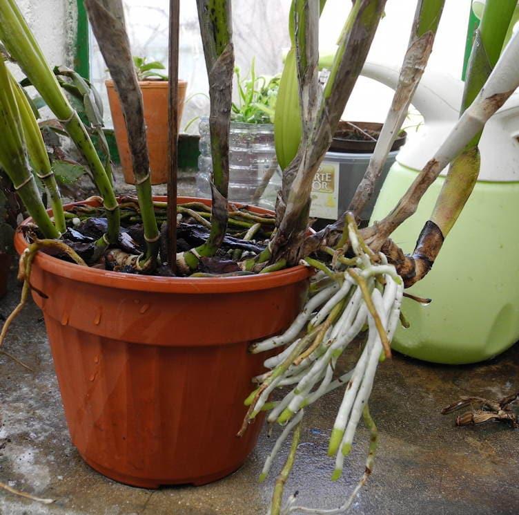 planter une orchidee en pot